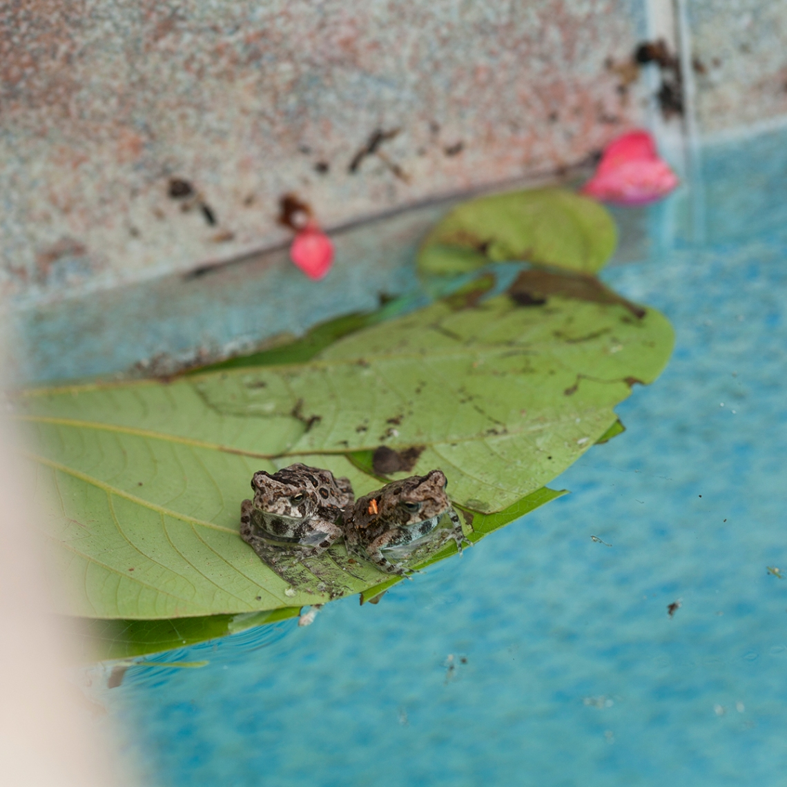 two tiny toads, floating frogs