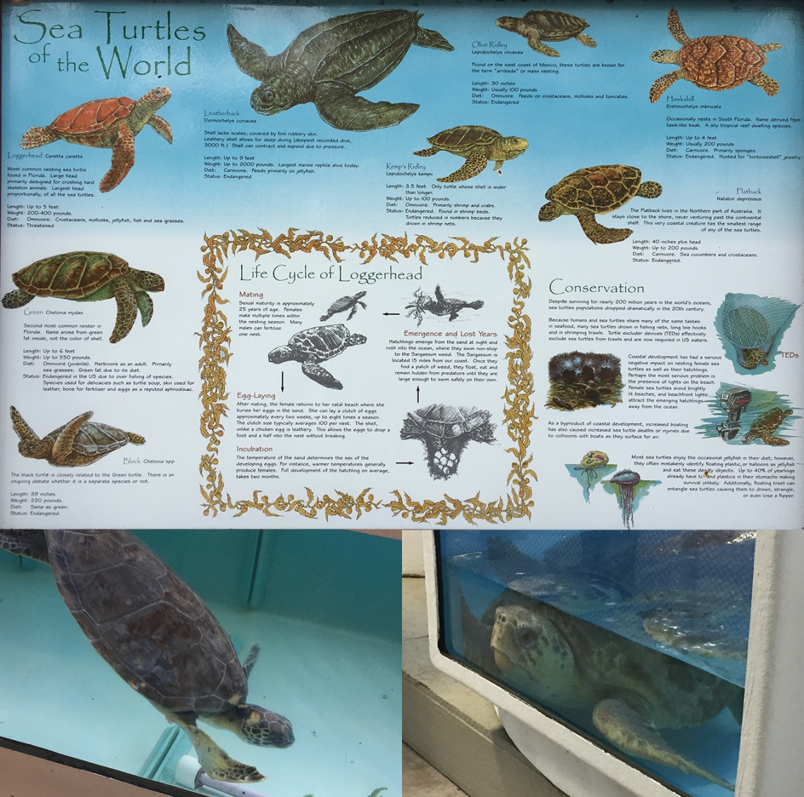 Gumbo Limbo Nature Center, loggerhead sea turtle, green sea turtle