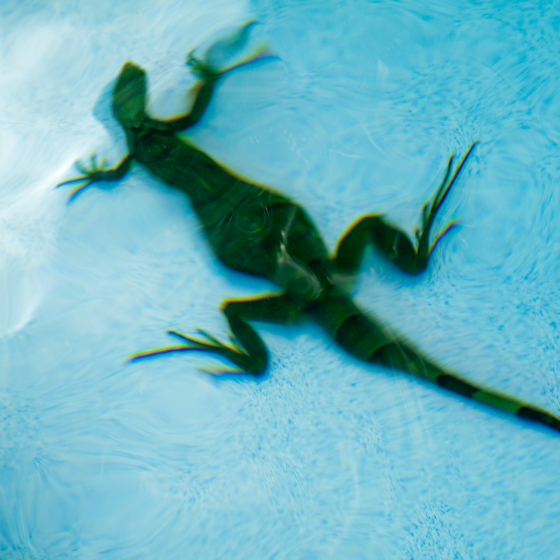 underwater iguana, green iguana in pool