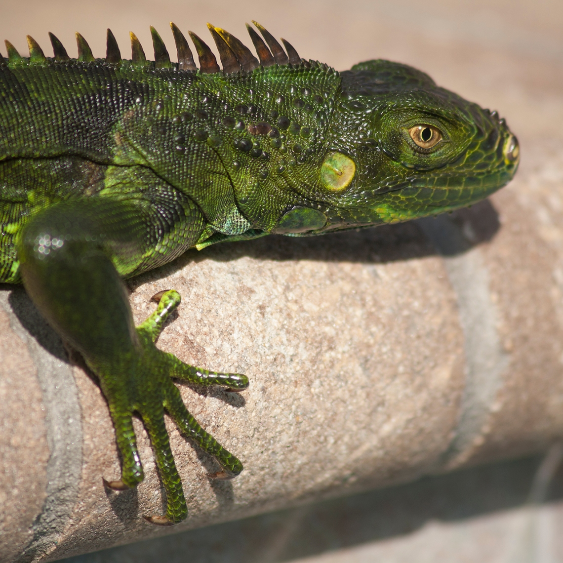 green iguana closeup portrait