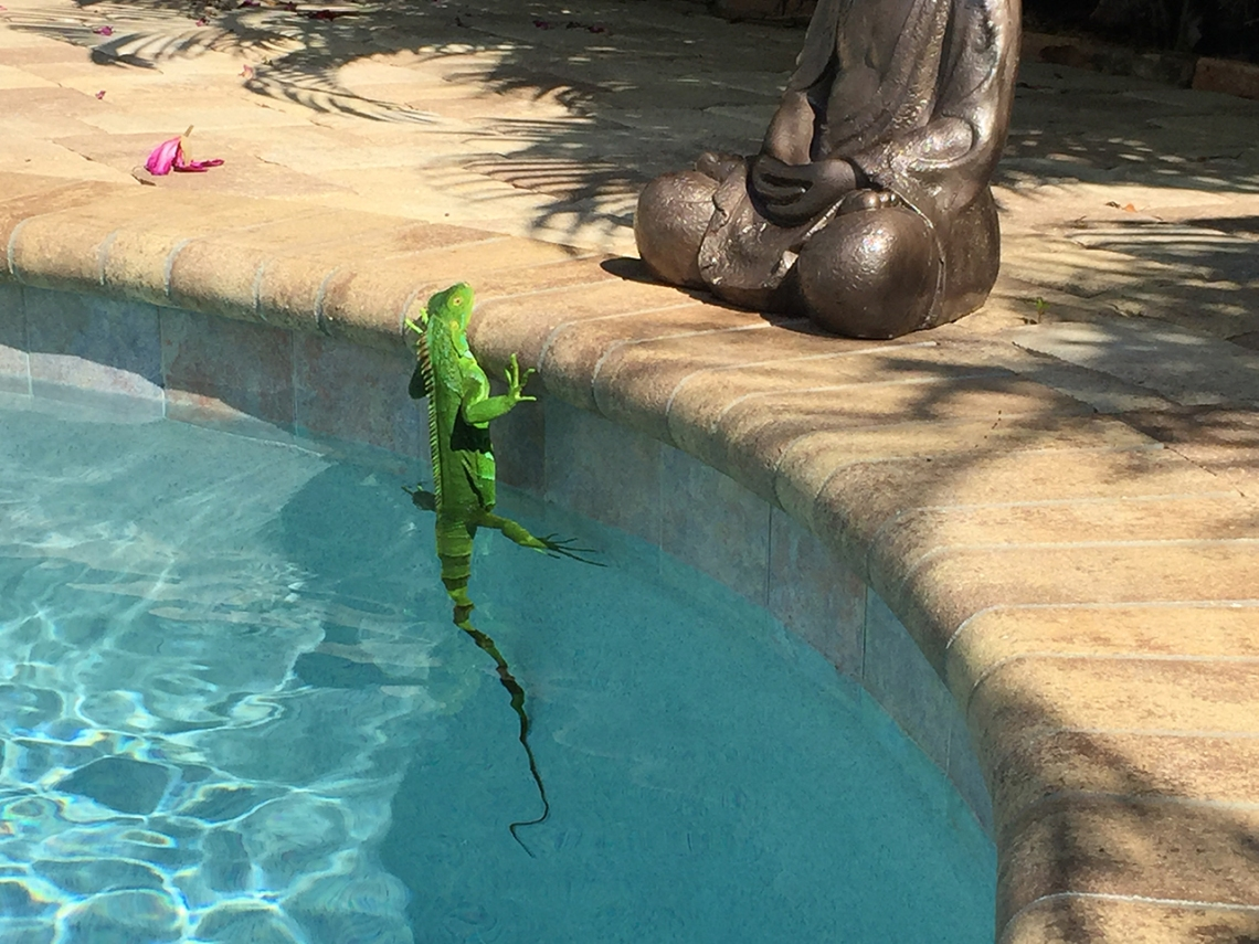 green iguana in swimming pool