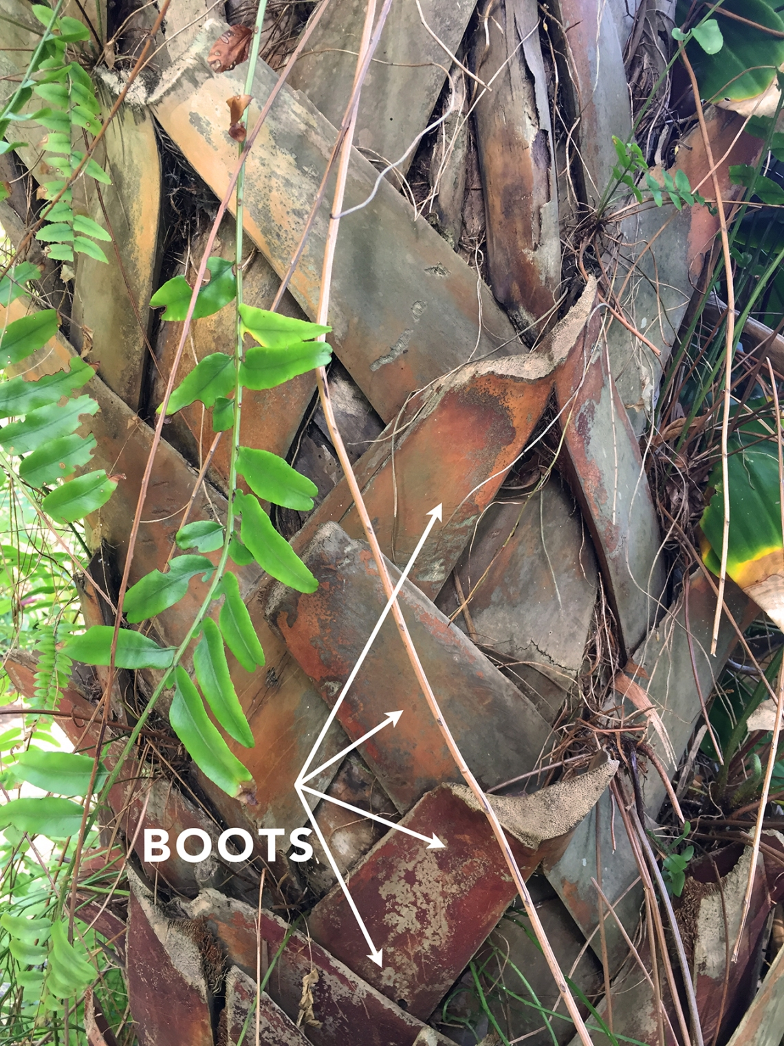 Cabbage Palm Boots