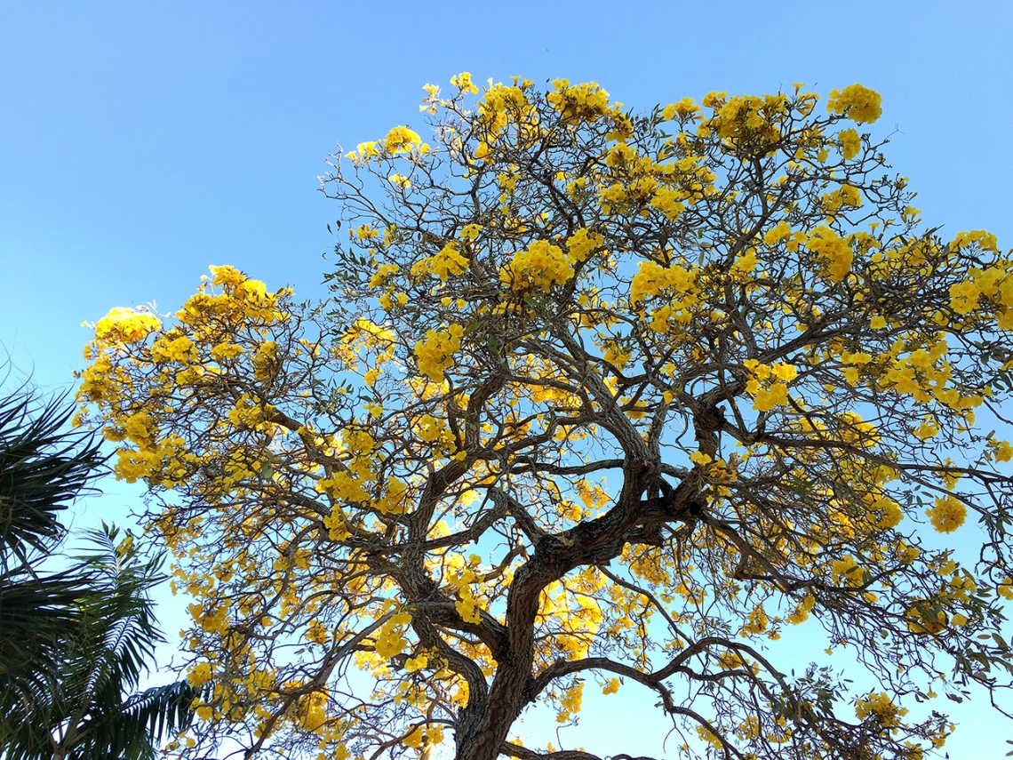 tabebuia tree, yellow flowering tree florida