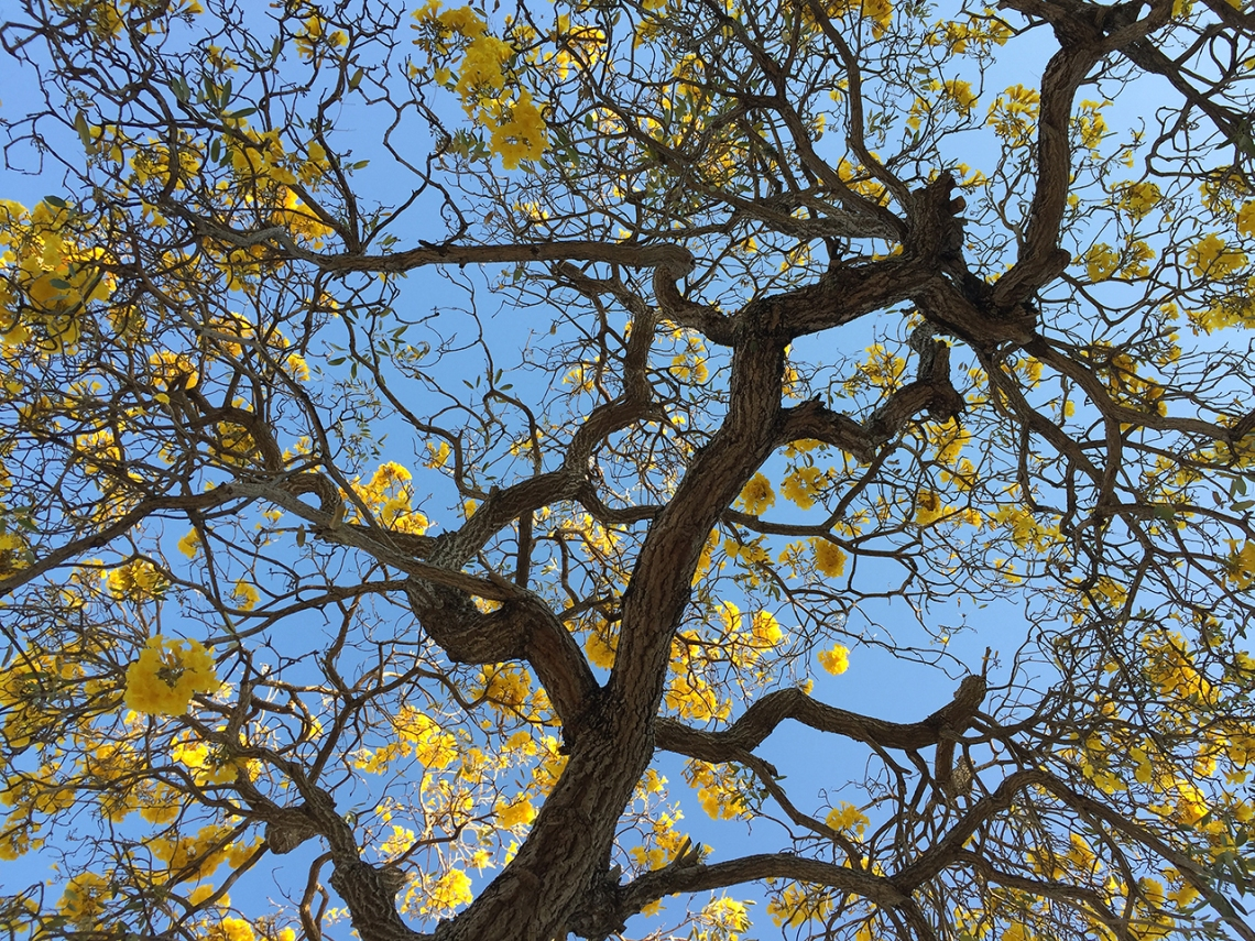 primavera tree, yellow tabebuia, gold trumpet flower tree