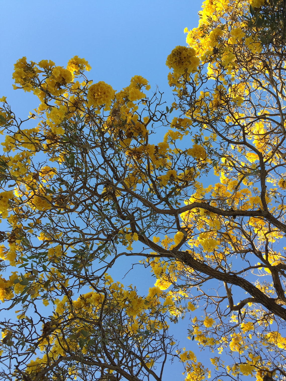 tabebuia tree flowers, yellow tabebuia flowers
