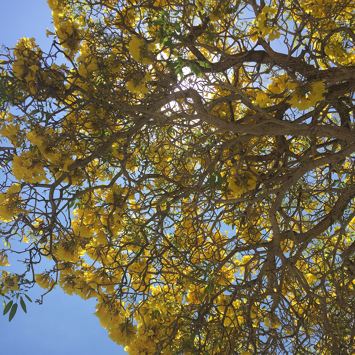 tabebuia tree, yellow tabebuia