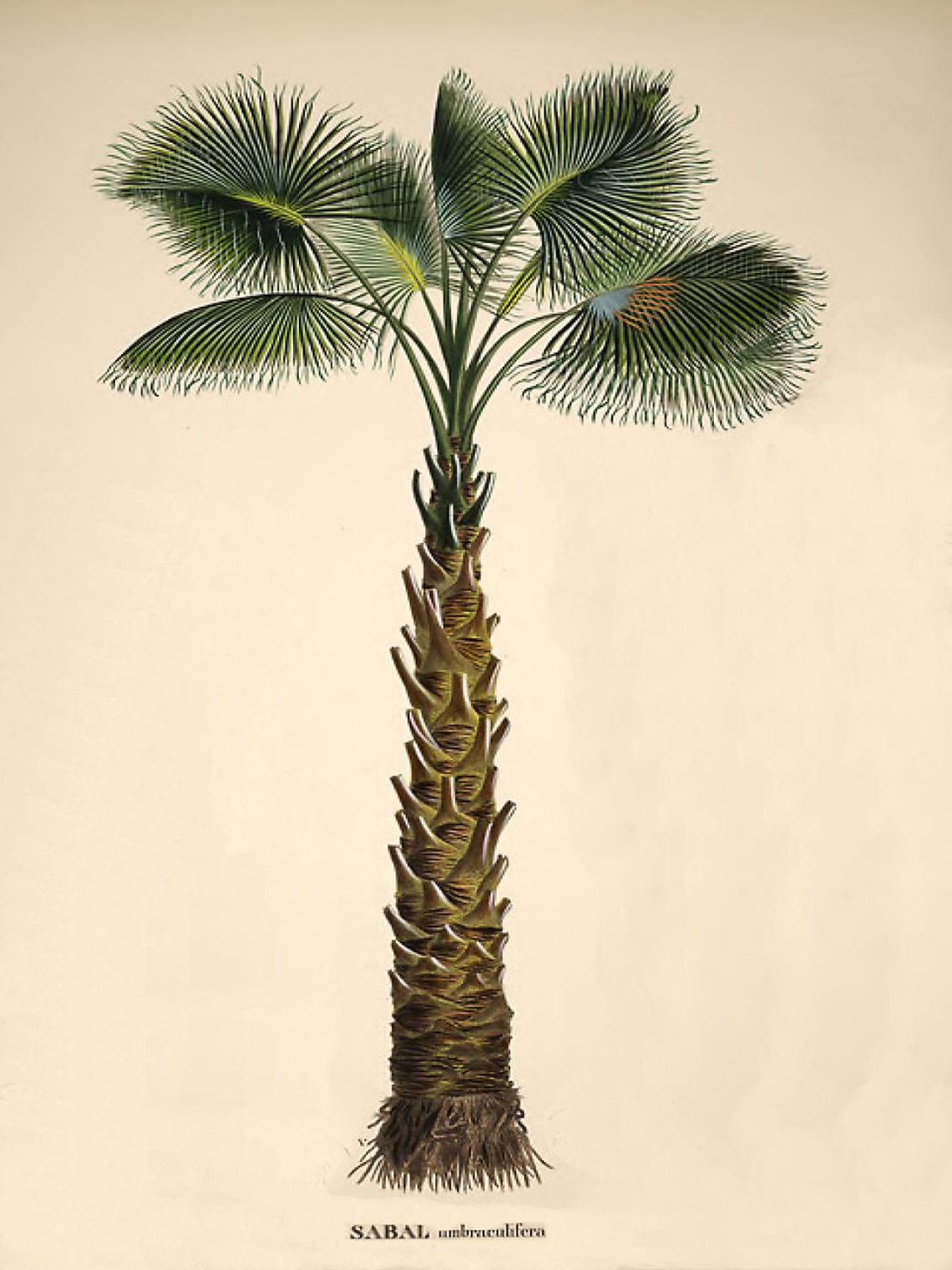 cabbage palm illustration