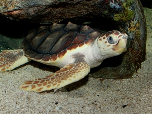 florida sea turtles